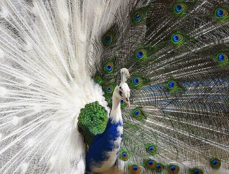 חיות נדירות עם צבעים מיוחדים: טווס חצי לבקן