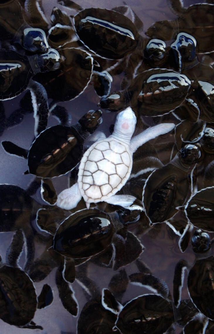 חיות נדירות עם צבעים מיוחדים: צב ים לבקן בין צבי ים רגילים