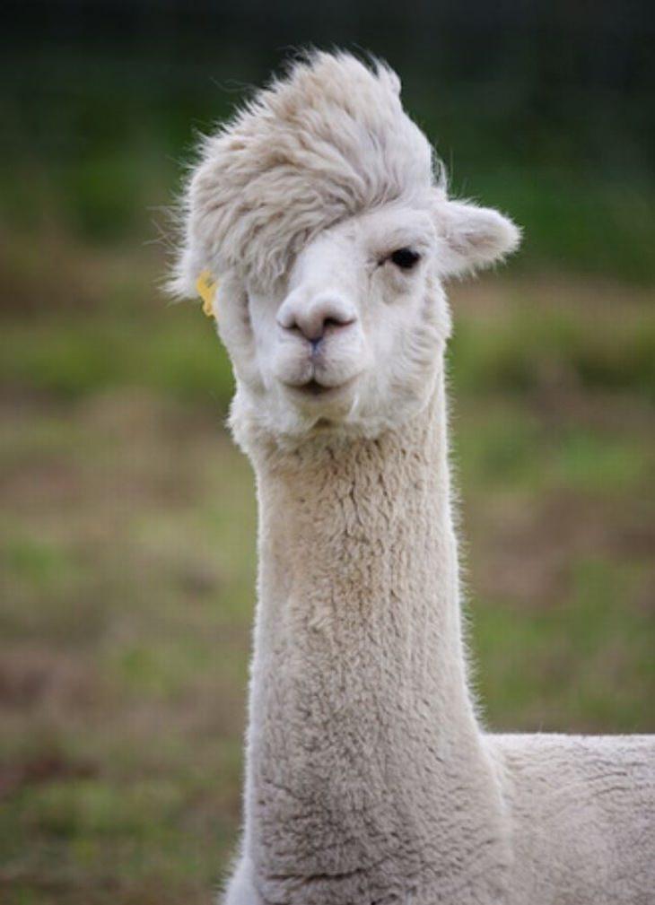 חיות עם רעמת שיער מרהיבה: אלפקה עם תספורת היפסטרית