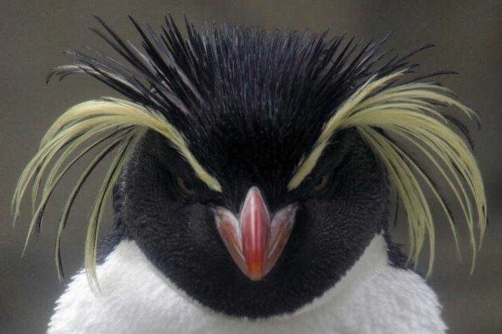 חיות עם רעמת שיער מרהיבה: פינגווין עם שיער בלונדיני