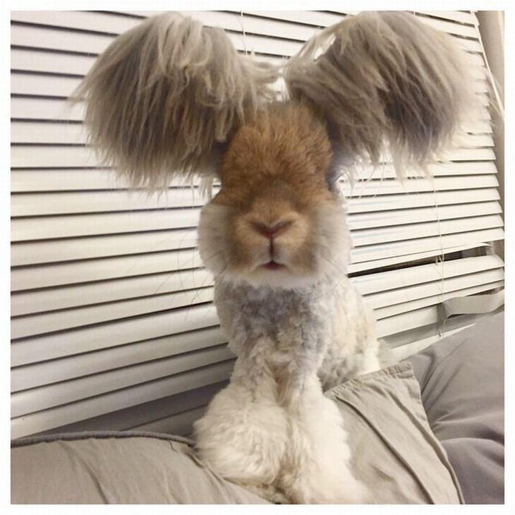 חיות עם רעמת שיער מרהיבה: ארנב עם אוזניים שעירות במיוחד