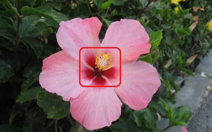 מבחן שמות: פרח היביסקוס