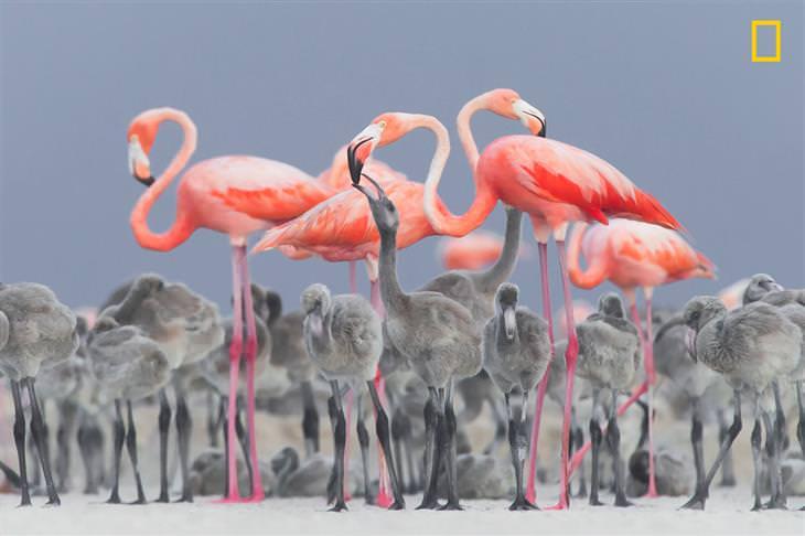 תמונות השנה של נשיונל ג'אוגרפיק: פלמינגו מאכיל את גוזלו