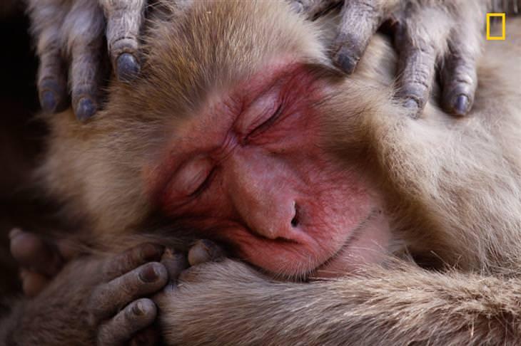 תמונות השנה של נשיונל ג'אוגרפיק: קוף נח ומתפנק