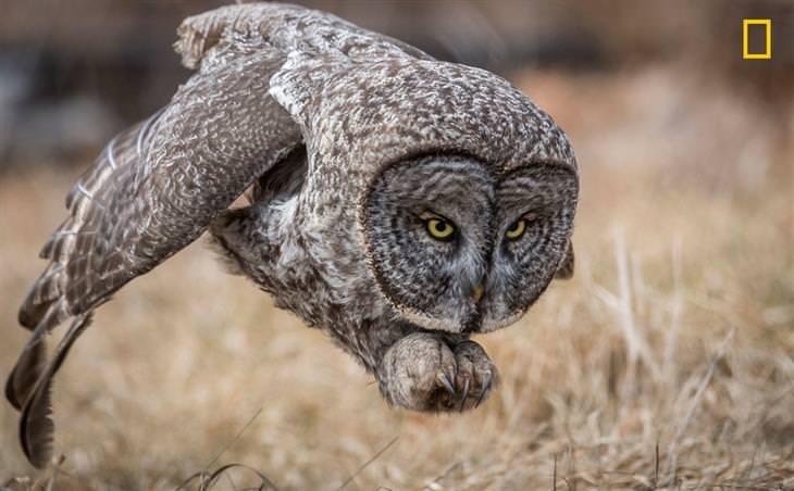 תמונות השנה של נשיונל ג'אוגרפיק: לילית אפורה מסתערת על טרף