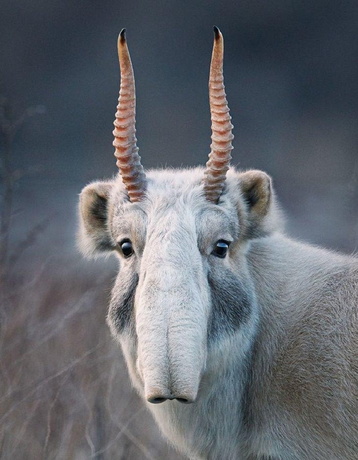 חיות בסכנת הכחדה:  סאיגה - Saiga