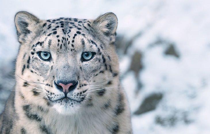 חיות בסכנת הכחדה: נמר השלג - Snow Leopard