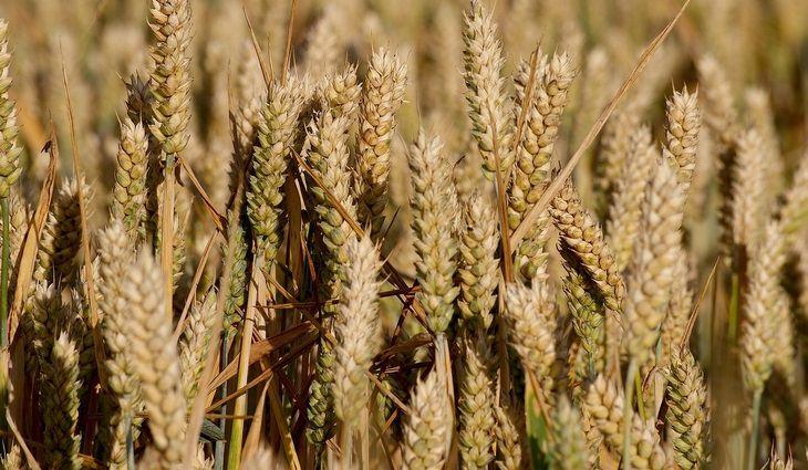 מרק בורגול וכוסברה: חיטה בשדה