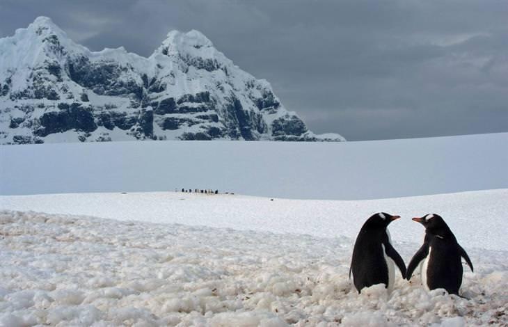 זוג פינגווינים מצמידים כנפיים על רקע הר מושלג