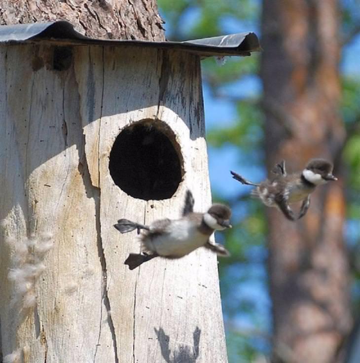 ברווזי גולדנאי קטנים עפים מחוץ לשובך