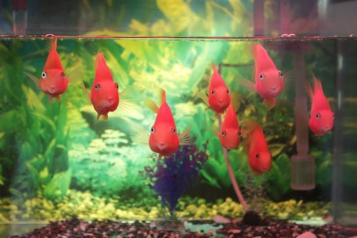 דגים אדומים באקווריום