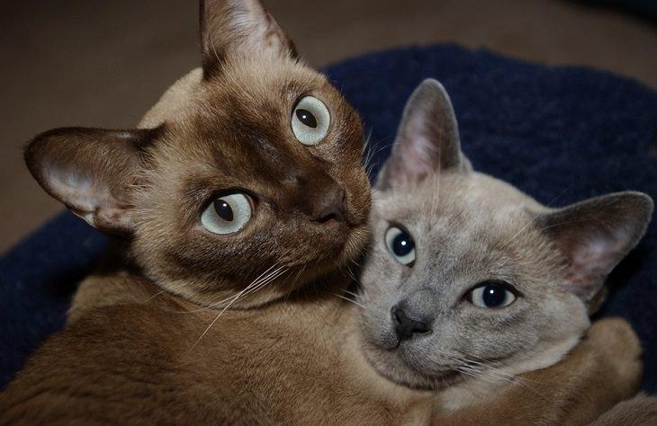 חתולים חבוקים