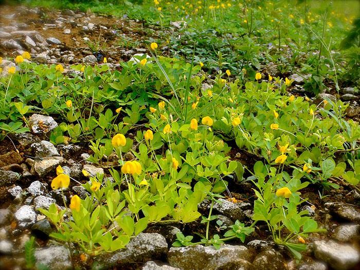 פירות וירקות בצורתם הטבעית בשדה: בוטנים בשלבים הראשונים