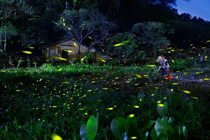 גחליליות חגות סביב אדם שעומד בתוך אגם
