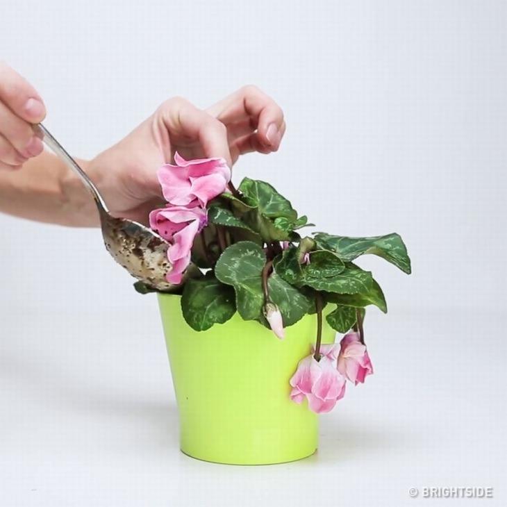 איך להחזיר צמח לחיים עם 3 מרכיבים פשוטים מהמטבח: מריחת התערובת סביב הצמח