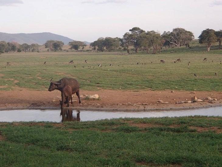 תאו סמוך למאגר מים בטבע בקניה