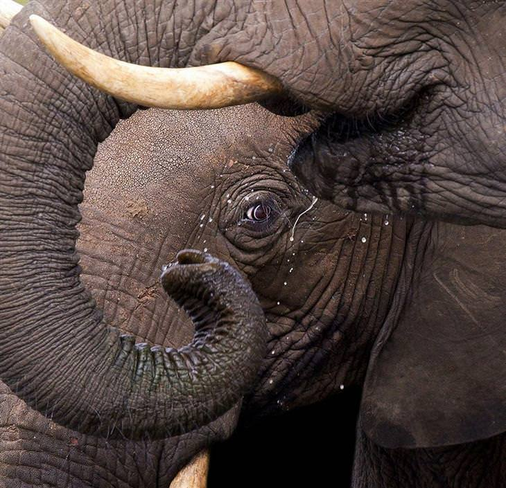 עין של פיל