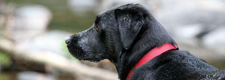 כלב עם קולר