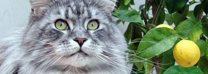 חתול לצד ענף שעליו גדל לימון