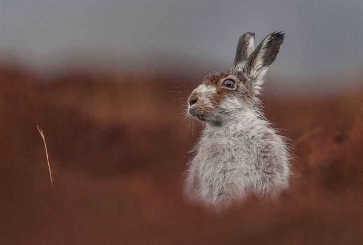 ארנב הרים מציץ מעל לצמיחה שבשדה