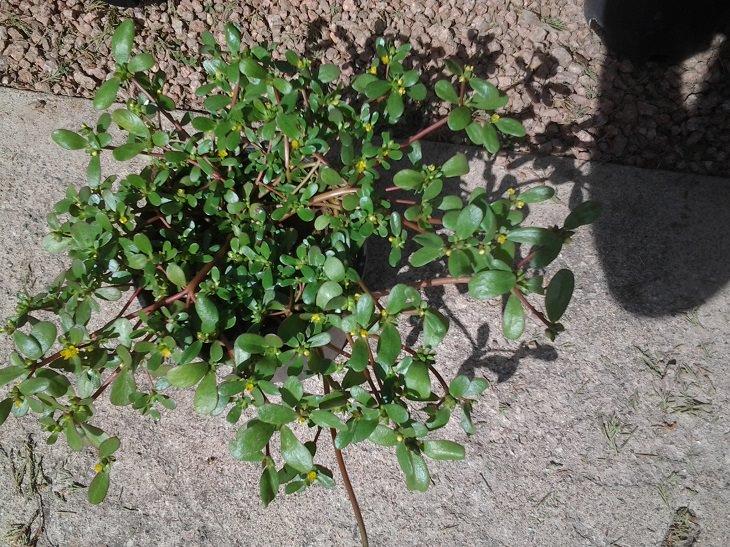 צמיחה של רגלת הגינה