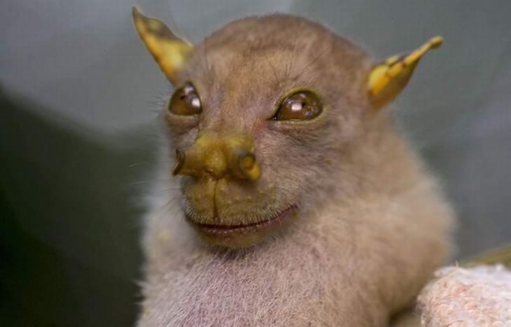 עטלף חוטם הצינור