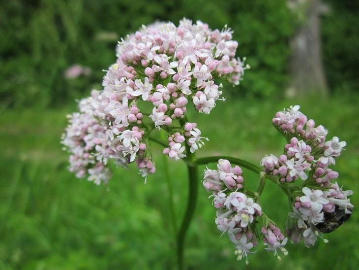 פרחים של צמח הוולריאן