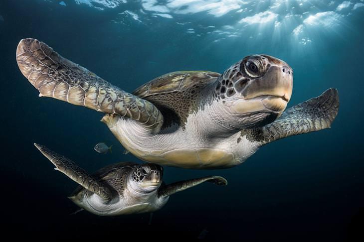"""""""צבי ים ירוקים תחת קרני השמש"""" – גרג לקואור"""