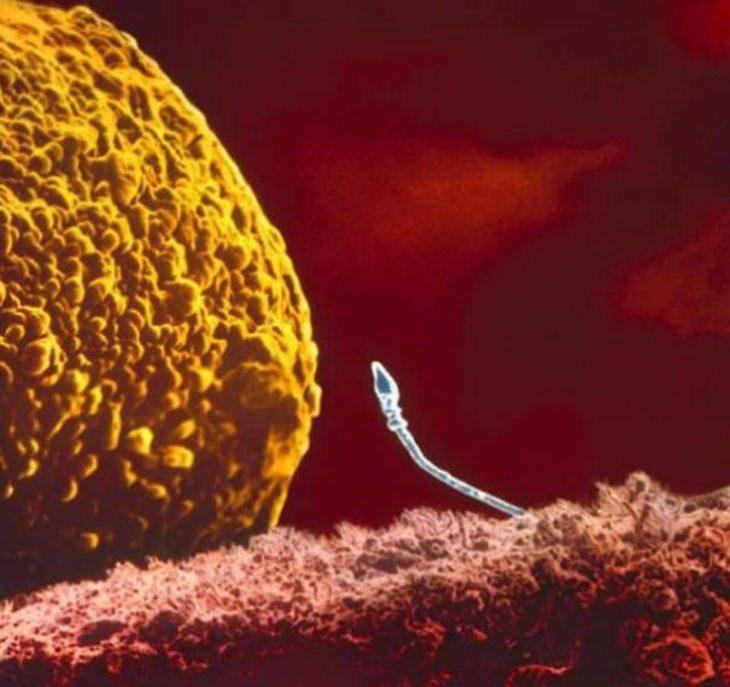 תא זרע בודד מגיע אל קרבת הביצית