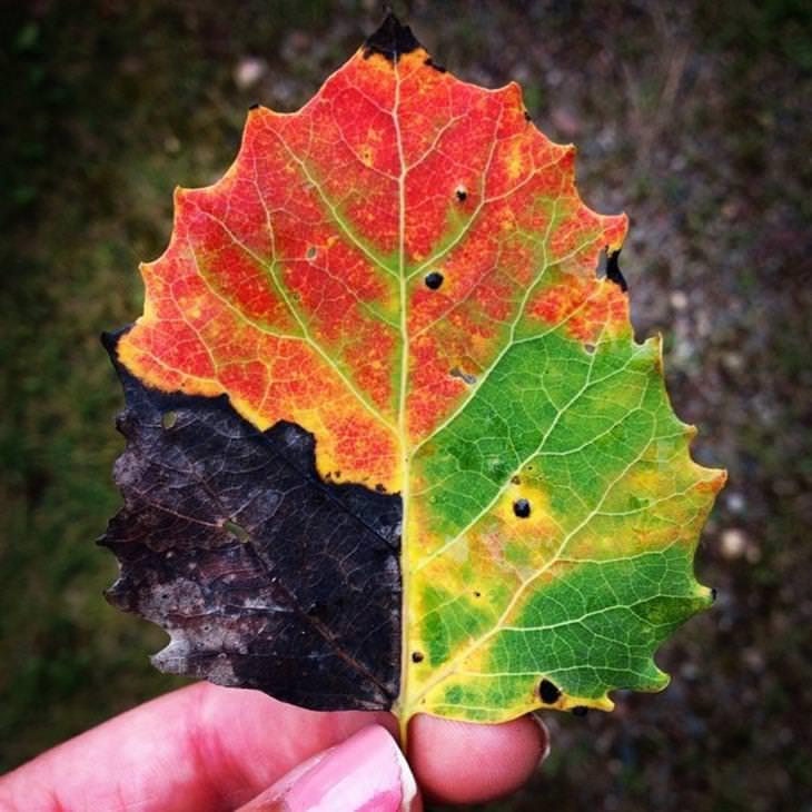עלה יפהפה ששינה צבעיו עם בוא הסתיו