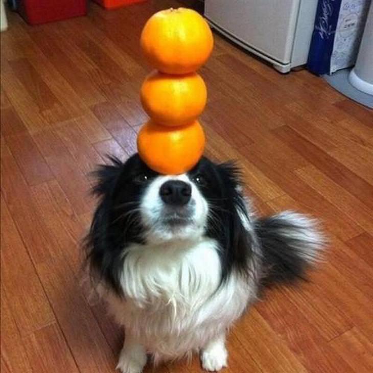 כלב מאזן על האף 3 תפוזים