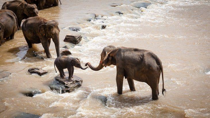 עדר פילים עובר בנהר