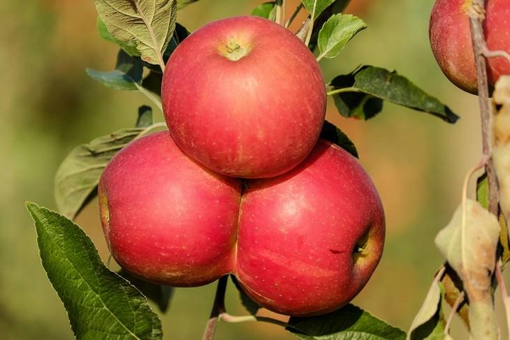 תפוחים על עץ