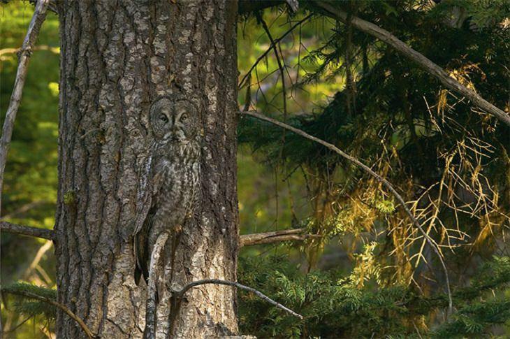 ינשוף מסתווה על גזע עץ