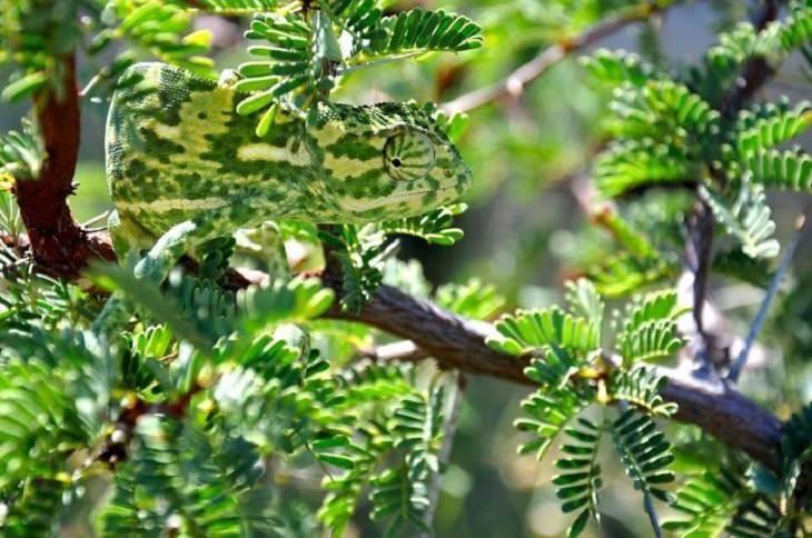 זיקית מסתווה על ענף עץ