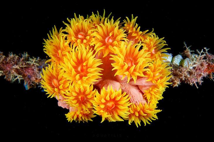 אלמוגים מסוג Tubastraea faulkneri