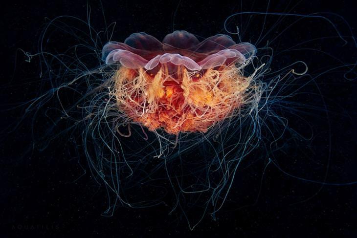מדוזת רעמת האריה - Cyanea capillata