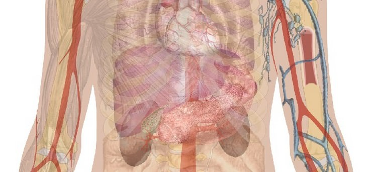 איור של פלג גוף עליו בו רואים כלי דם וכליות