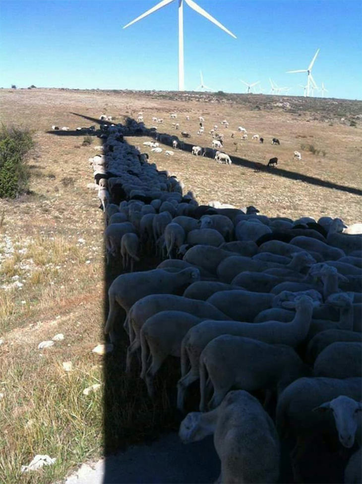 עדר  כבשים מתקבץ תחת צל של טחנת רוח