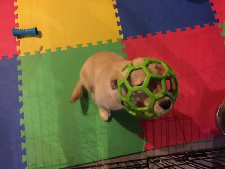 תמונות מתוקות של כלבי גולדן רטריבר