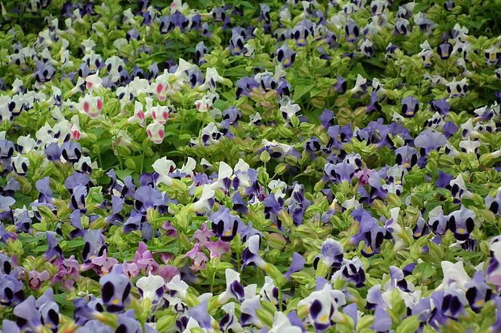 פרחים וצמחים לגידול בקיץ: טורניה