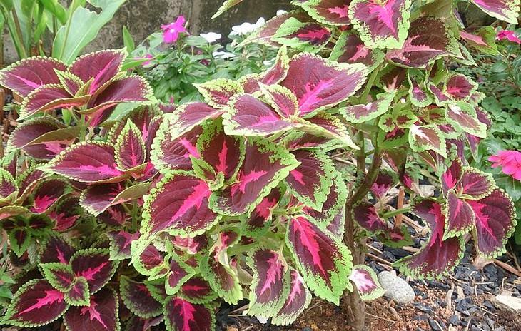 פרחים וצמחים לגידול בקיץ: פלקטרנטוס