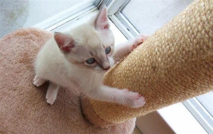 חתול מגרד עמוד