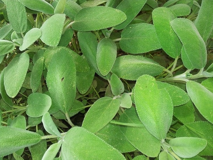 צמחים שמשפרים את התפקוד המוחי: שיח מרווה