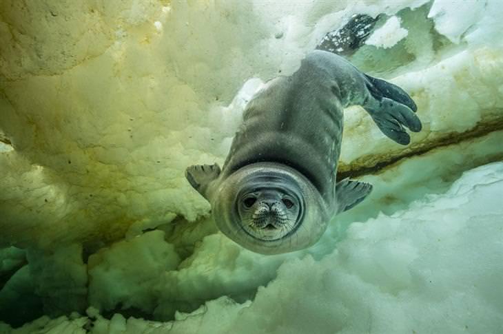 תמונות שצולמו במים מתחת ליבשת אנטארקטיקה: כלב ים מתחת למים מביט למצלמה