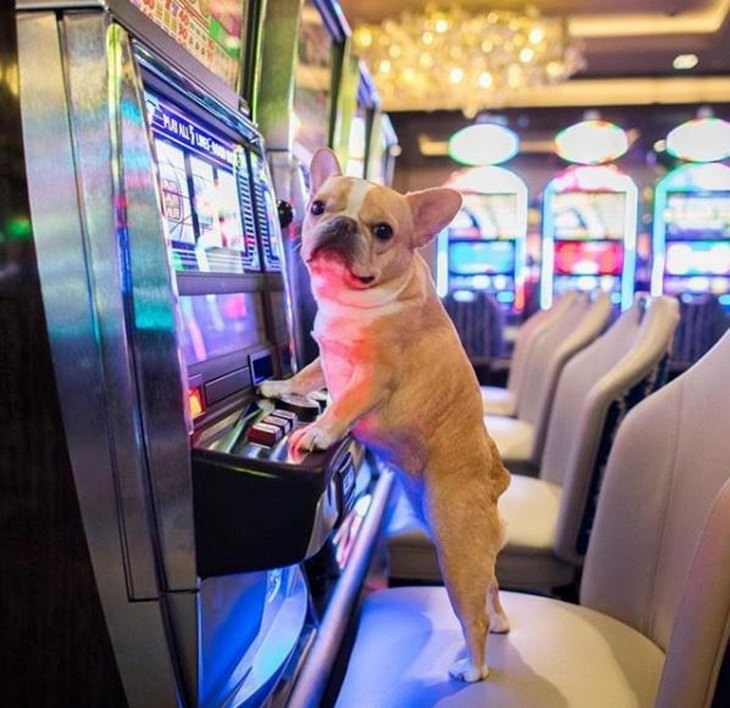 חיות מחמד מטיילות: כלב יושב מול מכונת הימורים