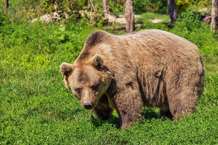 בדיחת הדוב והרבי: דוב ביער