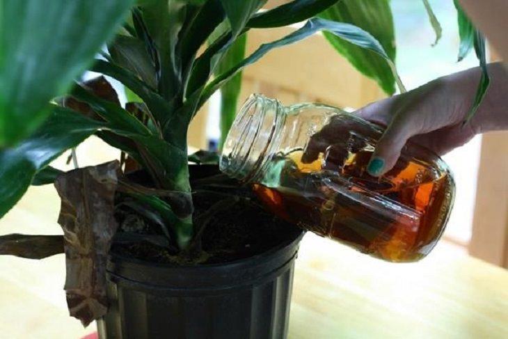 טיפים יומיומיים לחיים פשוטים: השקיית צמחים עם תה ירוק