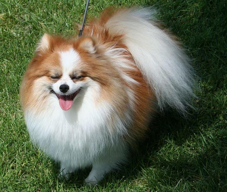 כלבים זעירים: פומרניאן