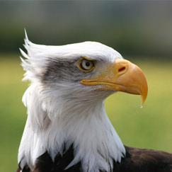 בחרו ציפור וגלו פרטים על אישיותכם: עיט